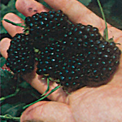 Navaho Blackberry 2